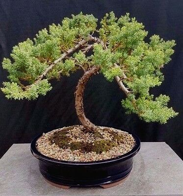 Bonsai, uniper squamata, approx 15 years old