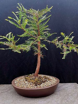 Bonsai, Deciduous Swamp Cypress