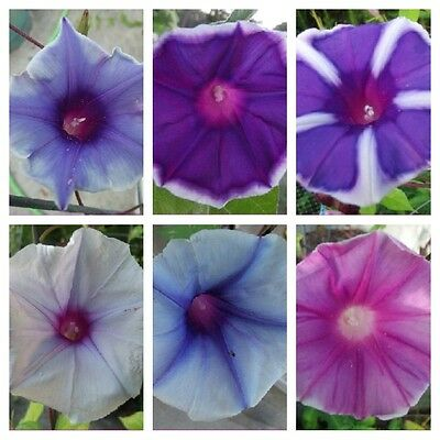Japanese Morning Glory - ipomoea Nil - 12 Mixed / Assorted Seeds