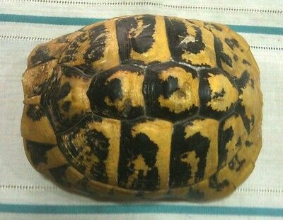 Taxidermy Dalmatian Turtle Shell Not Endangered Balkans Hermann's Tortoise