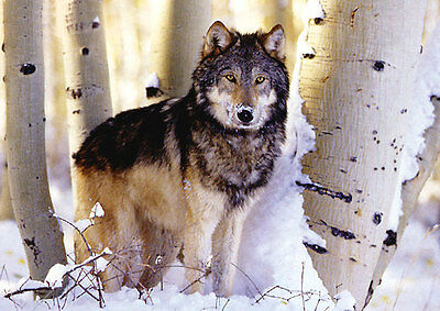 Puzzle Winter Hunting, 1500 Teile, Wolf, Wald, Winterwald, Tier, Clementoni