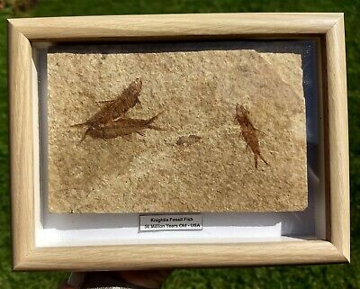 Framed Knightia alta Fossil Fish from USA - Eocene Period