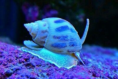 Giant Nassarius snails 5x for £10
