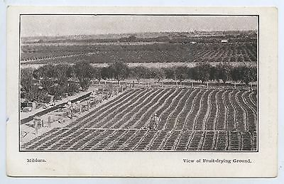 1910 Npu Pt Postcard Fruit Drying On Ground Mildura Scott Newsagent Series A96.