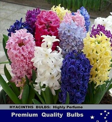 SPRING FLOWER-  HYACINTHS Mix Color BULBS -Highly Perfume
