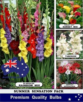 SPRING FLOWER-  HYACINTHS BULBS  RED Colour -Highly Perfume