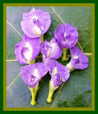 *uncle Chan 30 Seed Light Blue Butterfly Pea  Clitoria Ternatea Vine Exo Flower