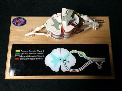 Denoyer Geppert - A65 Deluxe Spinal Cord, Nerve, Spine Anatomical Model (A 65)