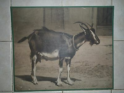 Original vintage zoological pull down school chart Goat photochrome 1920