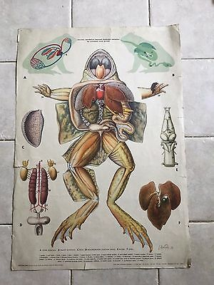 Original vintage zoological pull down school chart anatomy of frogs