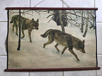 Original vintage zoological pull down school chart wolves