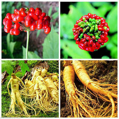 50x Chinese/Korean Panax Ginseng Asian Seeds Fresh For Planting Nutrition