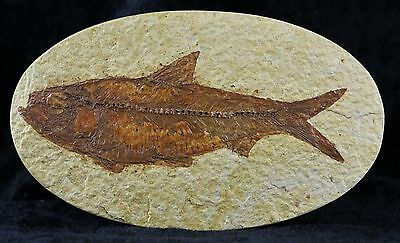 Knightia Eocaena Fossil Fish Green River Formation Wy Eocene Age 4 1/2 Inches