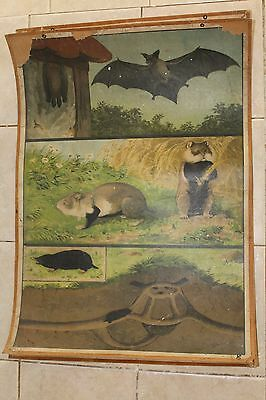 Original vintage pull down school chart of Bat, hamsters litograph