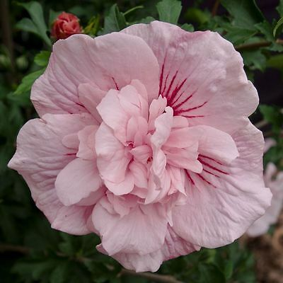 Hibiscus syriacus Pink Chiffon - Rose Mallow, Grafted, Bare Root