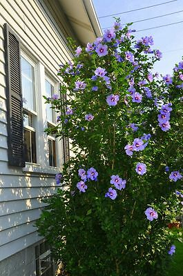 Rose of Sharon Hibiscus Syriacus Hardy Mixed colors 200 seeds from Canada