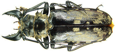 Insect - Acanthophorus (Tithoes) confinis ssp. - Tanzania - Male 91mm ....!!