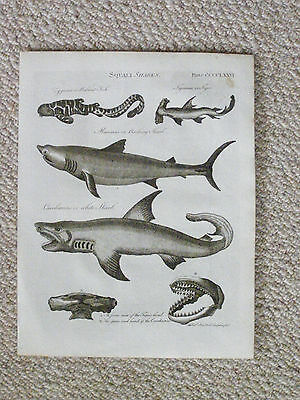 An original authentic late 18th century print of Sharks.