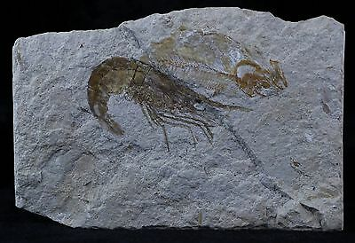 Fossil Shrimp Carpopenaeus Cretaceous Age 100 Million Years Old Lebanon & Fish