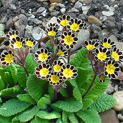 Primrose Seeds - Perennial Flower Plant Graines - 30 Pack - FREE Shipping