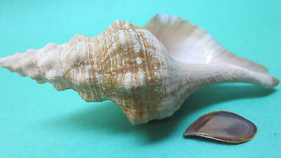 "Small Horse conch Florida Keys 6 ¼"" with operculum"
