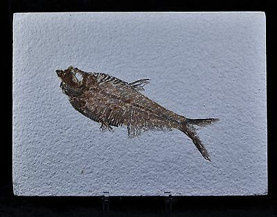 Knightia Eocaena Fossil Fish Green River Wyoming Eocene Age 4 1/2 In Free Stand