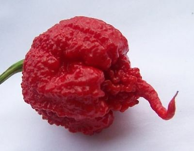CAROLINA REAPER-HP22B-Hot Chili Pepper 10 Seeds-100% GENUINE-World Hottest