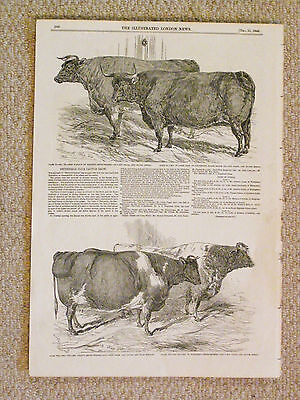 A genuine original set of four Cattle prints from the Illustrated London News.