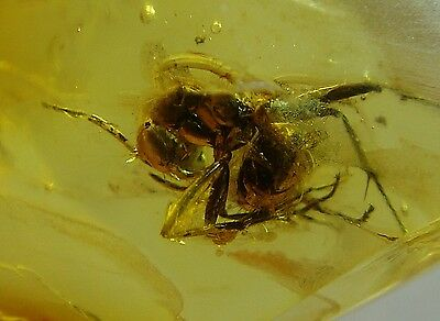 FOSSIL raw baltic amber rare genuine ANT ? insect inclusion (i336