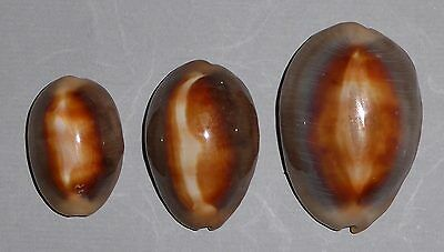 Coquillage de collection : Cypraea ventriculus (X3)