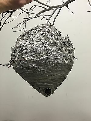 Large Paper Wasp Hornets Nest Beehive Bee Hive Taxidermy
