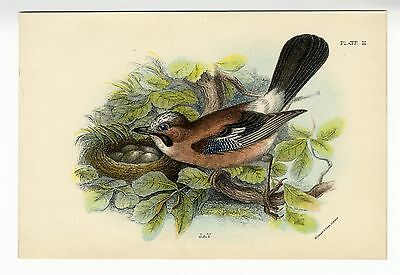 1896 Antique Print JAY BIRD NEST & EGGS Original Victorian Lithograph COLOUR