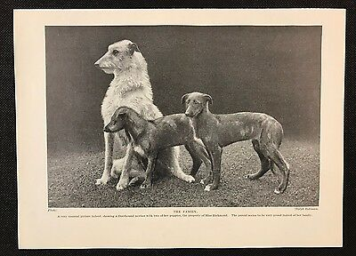 Original 1934 Dog Print / Bookplate - DEERHOUND, Mother with two puppies