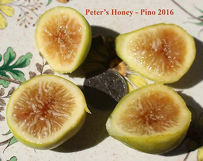 Peter's Honey  Fig Tree
