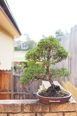 Quality Bonsai: Informal Upright Sargent Juniper  25 years old