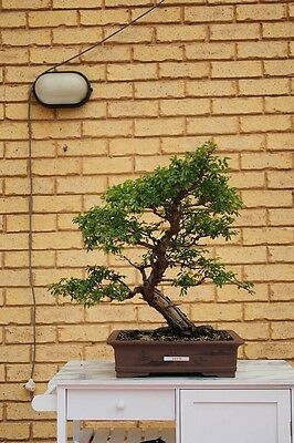 Quality Bonsai: Informal upright Chinese Elm. Jin and shari. 30 years old