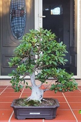 Quality Bonsai: Informal upright Port Jackson Fig (tiger bark). 26 years old