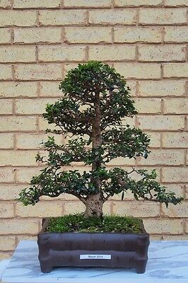 Quality Bonsai: Olive (Olea Europea) formal upright 24 years old