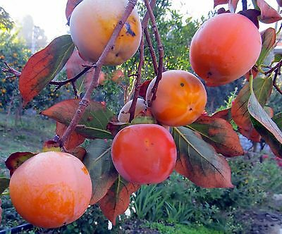 Persimmon (grafted) from Turkey