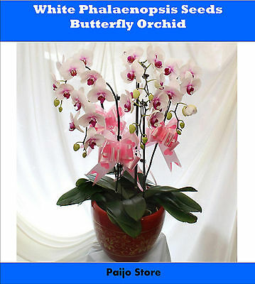 White Phalaenopsis Seeds - Butterfly Orchid Potted Seeds - 200 PCS