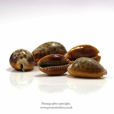 3 x Honey Cowrie seashells (Erosaria helvola) for crafts or jewellery | 1.5 to 2