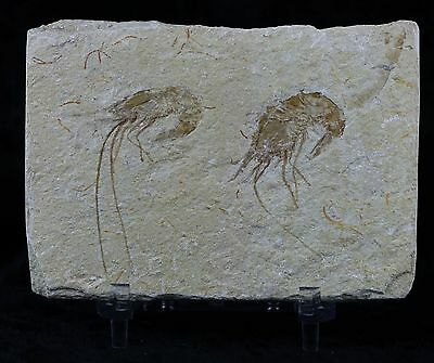Two Fossil Shrimp Carpopenaeus Cretaceous Age 100 Million Yrs Old Free Stand