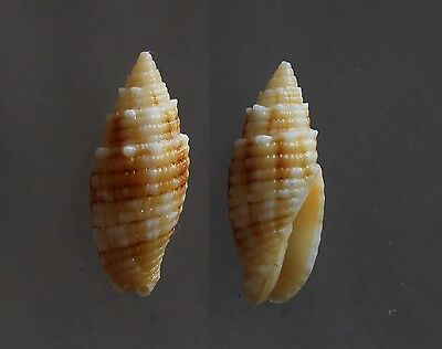 "Mitra puncticulata, 24mm, F+++/GEM, ""VERY SMALL"""