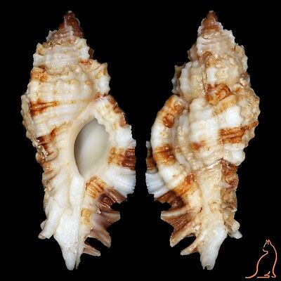 Murex Naquetia cumingii, Philippines, Muricidae sea shell