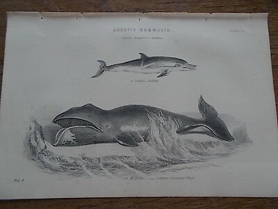 c19th c1870 Engraving Print Plate of Aquatic Mammalia Marine Sea Mammals Dolphin