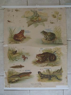 Original vintage zoological pull down school chart Frogs and salamanders , lito