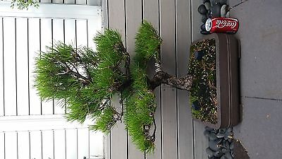 Bonsai Japanese Black Pine