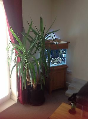 Large 183Cm Yucca Elephantipe Evergreen Indoor House Plant In Pot