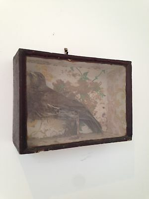 Antique Taxidermy Bird in Glass Fronted Case