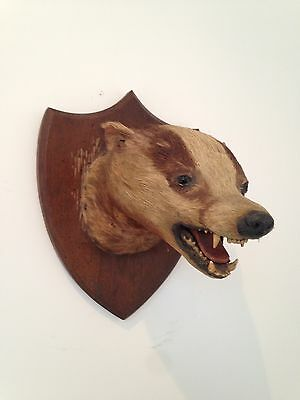Mounted Badger Head Antique Taxidermy